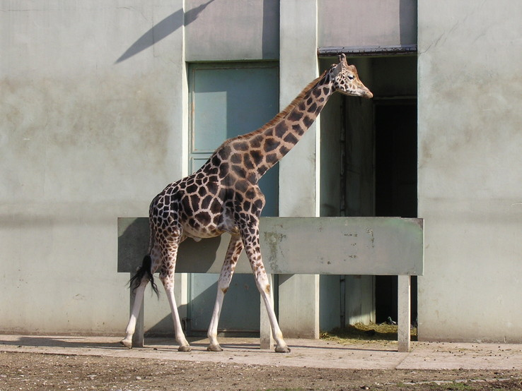 Une girafe, photo de Lyon